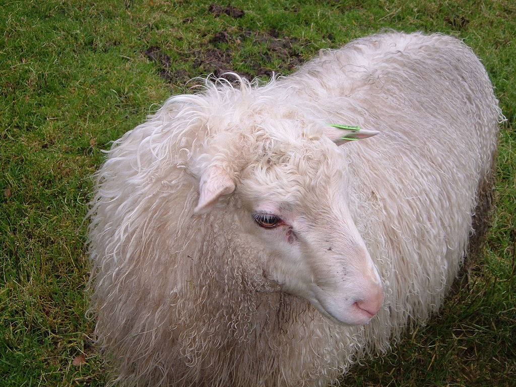Spællam - or, Spælsau sheep lamb - photographed by Asj and released through Wiki Commons