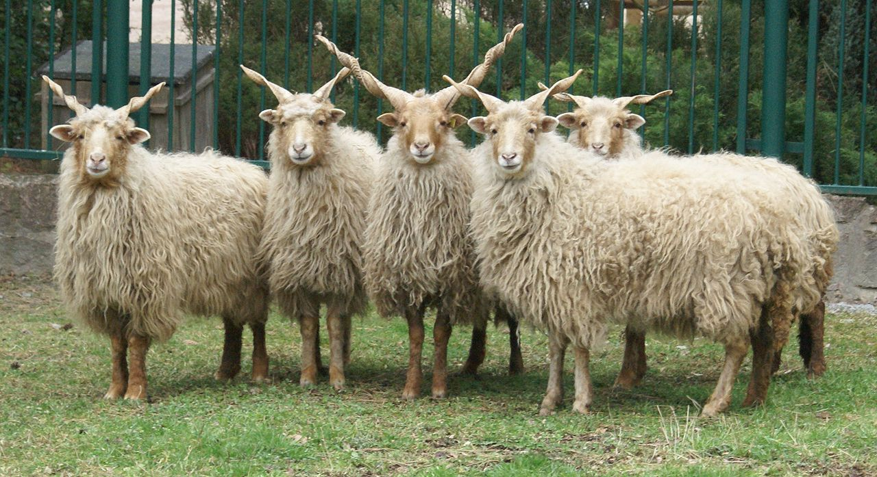 Photo of white Hungarian Racka Sheep, photographed at Tiergarten Bernburg, Germany - photo found on Wiki Commons and attributable to Tragopan