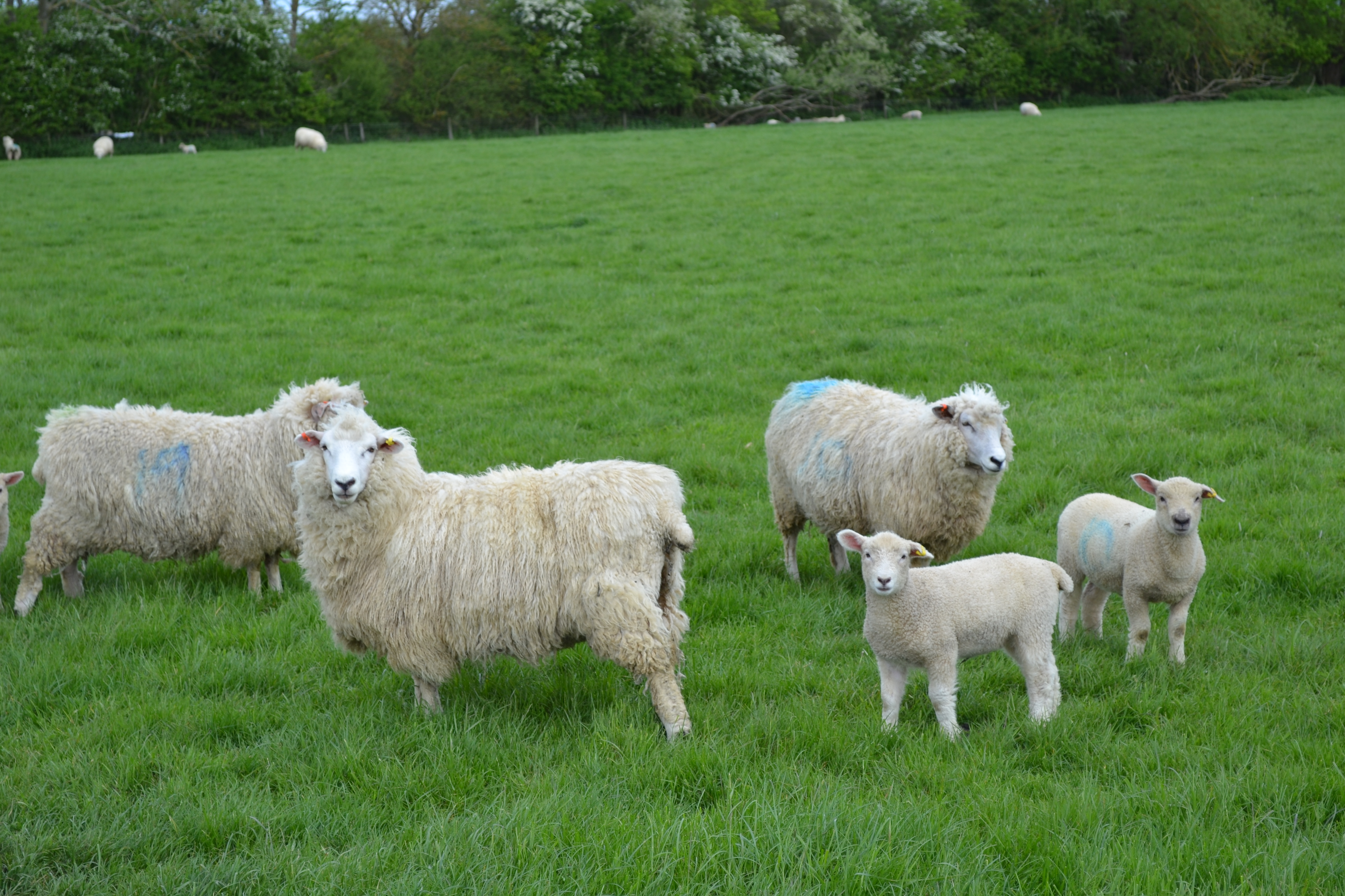 Romney sheep on a local farm