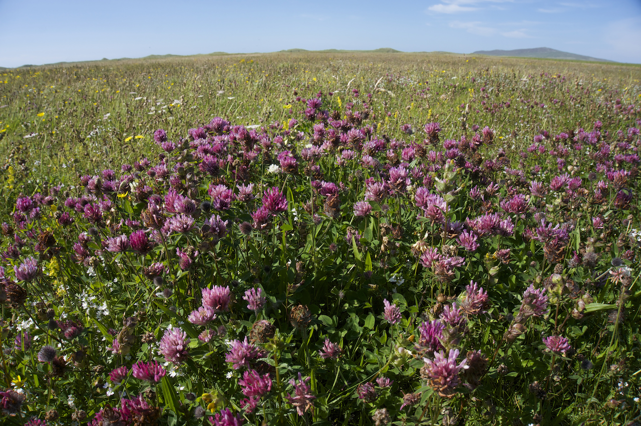 Berneray Machair flowers