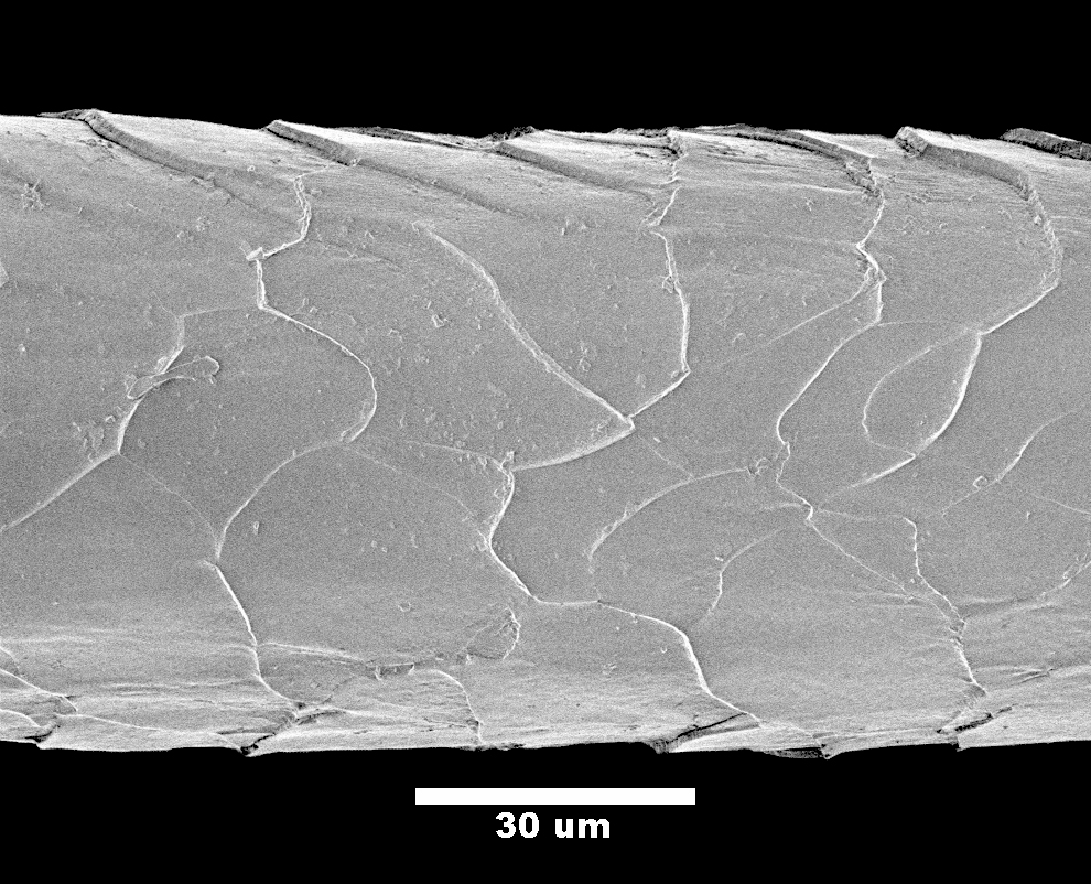 Lincoln sheep wool, under the microscope...