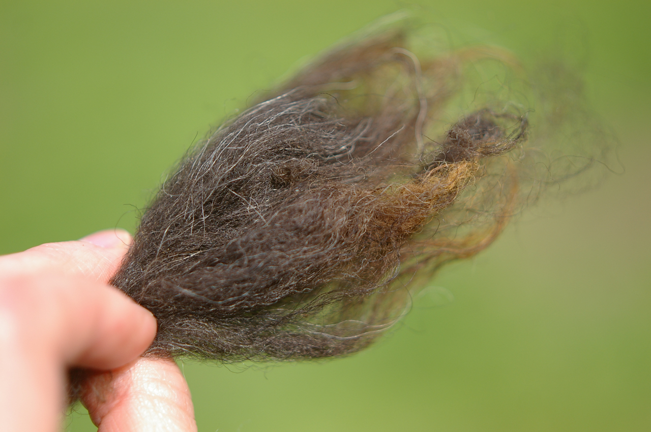 Closeup of Estonian Native sheep wool, from the sheep in Joel and Julika's flock at Jaani Talu