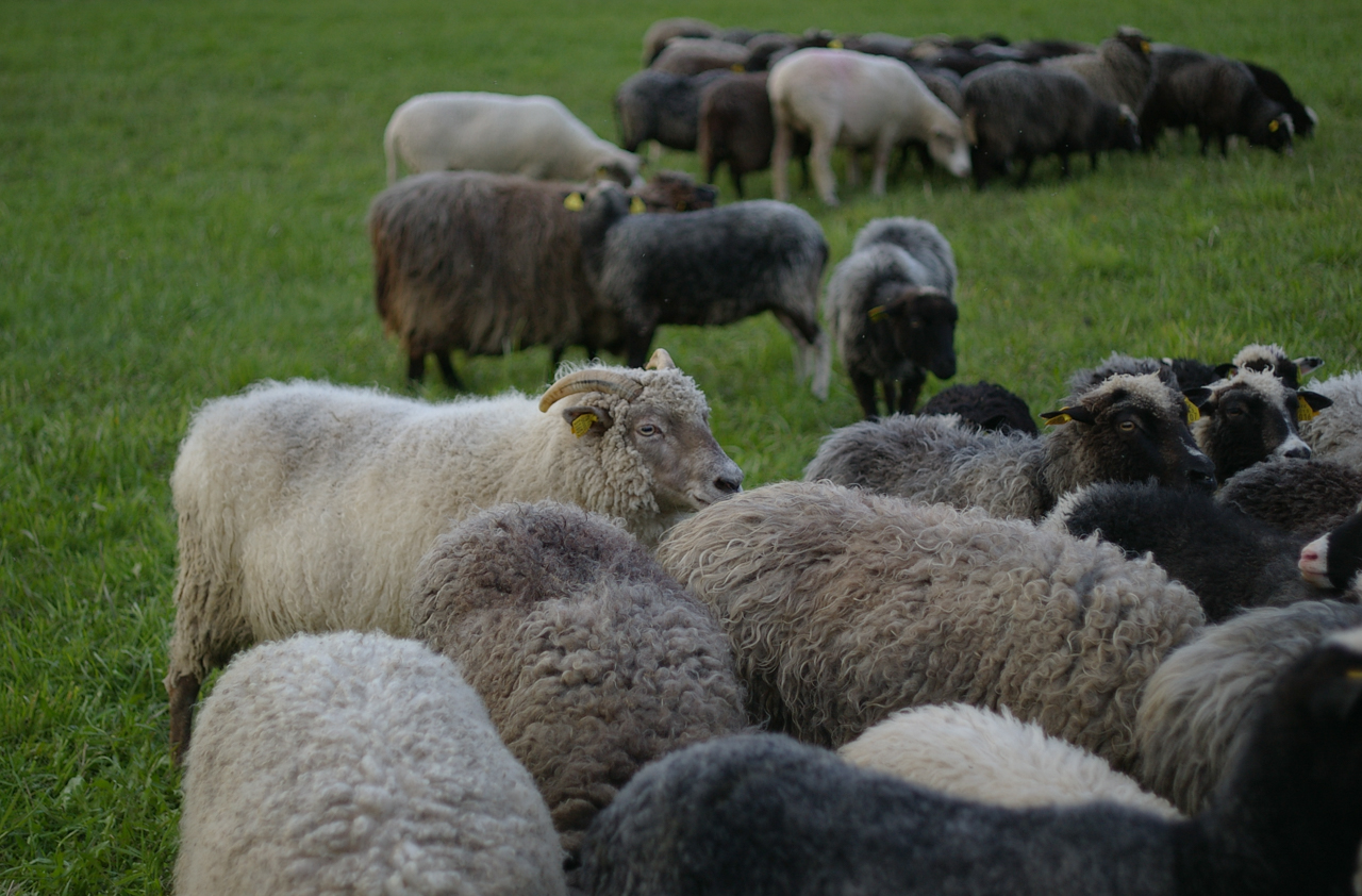 Anneli Ärmpalu-Idvand's flock of Kihnu native sheep