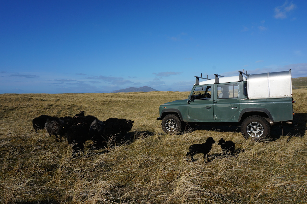 Lambing on the machair in crisp spring weather
