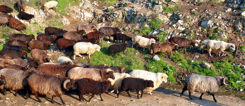 Karakachan sheep © Nicholas Lescureux and used with kind permission. Found here on Flickr