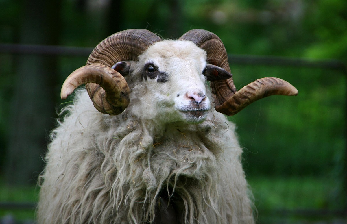 Domestic Valachian sheep – photo found in Wiki Commons and attributable to Kankovaa