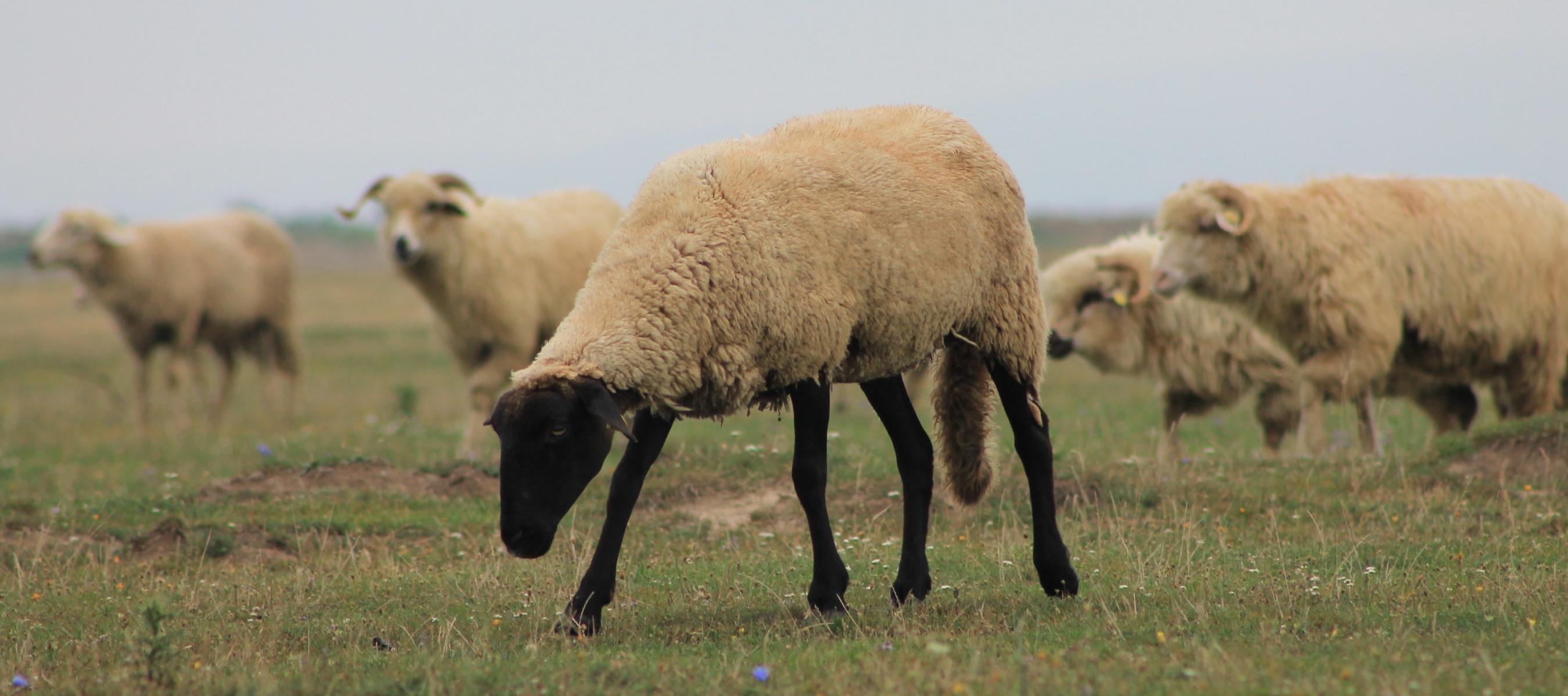 Romanian sheep - photo taken from the Moeke Yarns website here