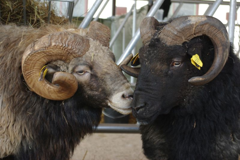 Lietuvos vietinės šiurkščiavilnės avys - Lithuanian Coarse Wool sheep, image found here on the website of the Lithuanian farm animal genetic resources coordination centre