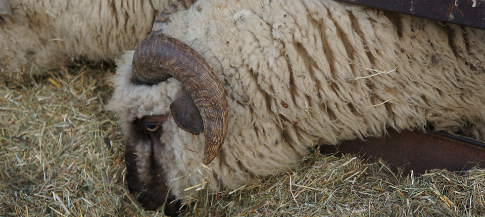 Tsigai sheep - image found here