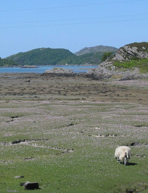 Sheep grazing salt marsh with Sea Pinks photographed 27 May 2007 by David Hogg and shared on Wikimedia Commons using Creative Commons Attribution 2.0 Generic license here