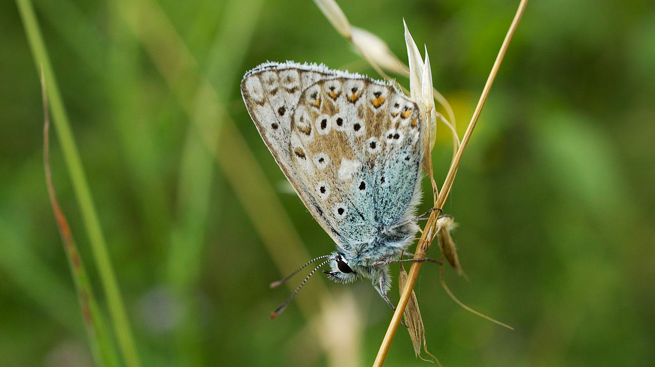 Chalkhill Blue butterfly photographed in Dorset, UK, 10 August 2013 by Ian Kirk and shared on Wikimedia Commons using Creative Commons Attribution 2.0 Generic license here